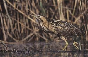 OcellsMalta. El bitó és un ocell molt esquiu i difícil de ser observat. Foto: Wikipedia