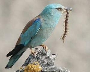 OcellsMalta. El gaig blau (<i>Coracias garrulus</i>) és un ocell estival que viu en espais agraris o